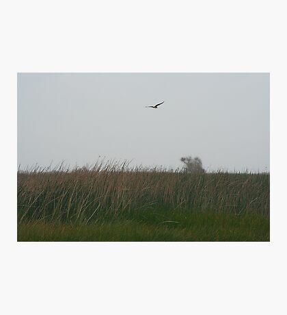 Harrier Photographic Print
