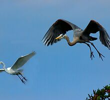 Great Blue Heron & White Egret in Flight by Michael Wolf