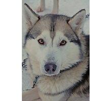 Husky love Photographic Print
