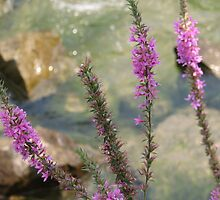 Purple Wildflower on Niagara River Gorge by sgpjroh