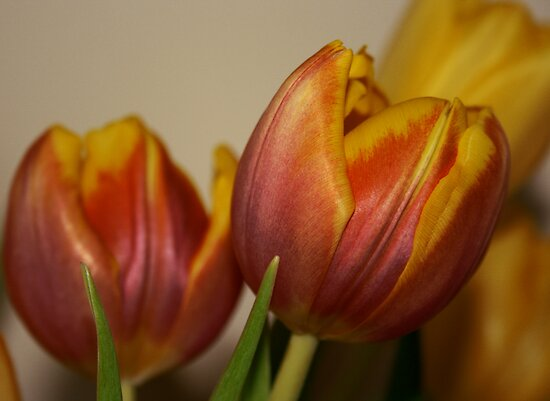 Tulips by Andrew Dunwoody