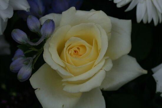 Rigby Rose by Sally Haldane