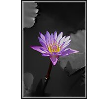 Indian Lily  Photographic Print