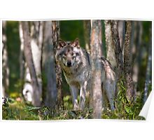 Timber wolf in Forest Poster