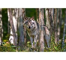 Timber wolf in Forest Photographic Print