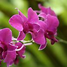 Purple Orchids by Kimberly Johnson