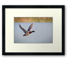 Flying Mallard (Colour Pencil Effect) Framed Print