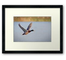 Flying Mallard (Colour Pencil Effect) Framed Print