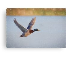 Flying Mallard (Colour Pencil Effect) Canvas Print