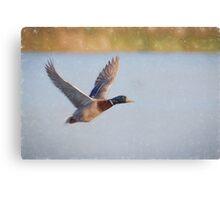 Flying Mallard (Colour Pencil Effect) Canvas Print