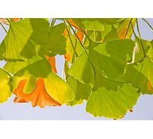 Summer Ginkgo Photographic Print