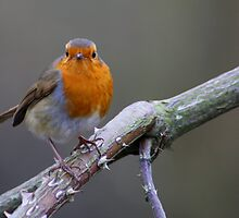 Robin red breast by jdmphotography