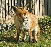 Sleepy fox in suburbia by InterestingImag