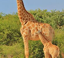 Giraffe Love - Mom is the Best by LivingWild