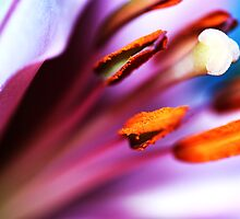 Lilly by EdVincent