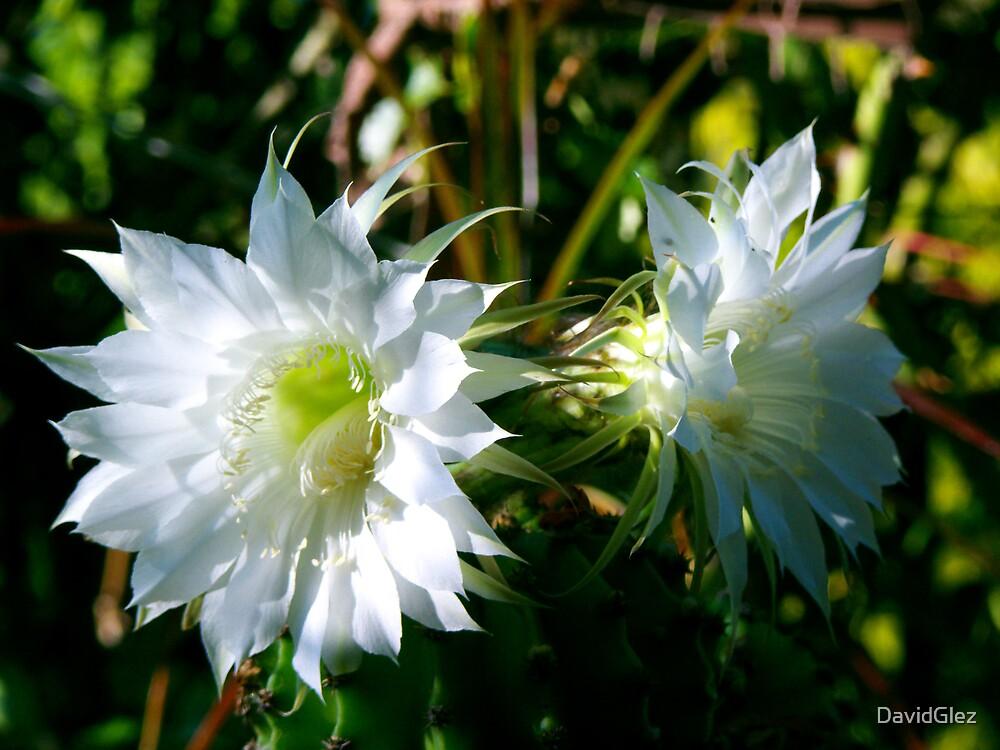 Cactus flower  by DavidGlez