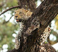 LEOPARD IN A TREE by Larry Glick
