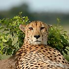 CHEETA by Larry Glick