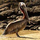 Pelican by Derek McMorrine