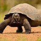 Turtle Santa Cruz by Derek McMorrine