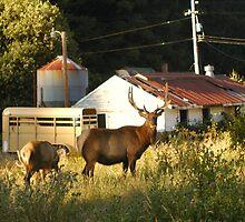 Elk Sighting 1 by TimsWorld