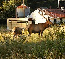 Elk Sighting 3 by TimsWorld