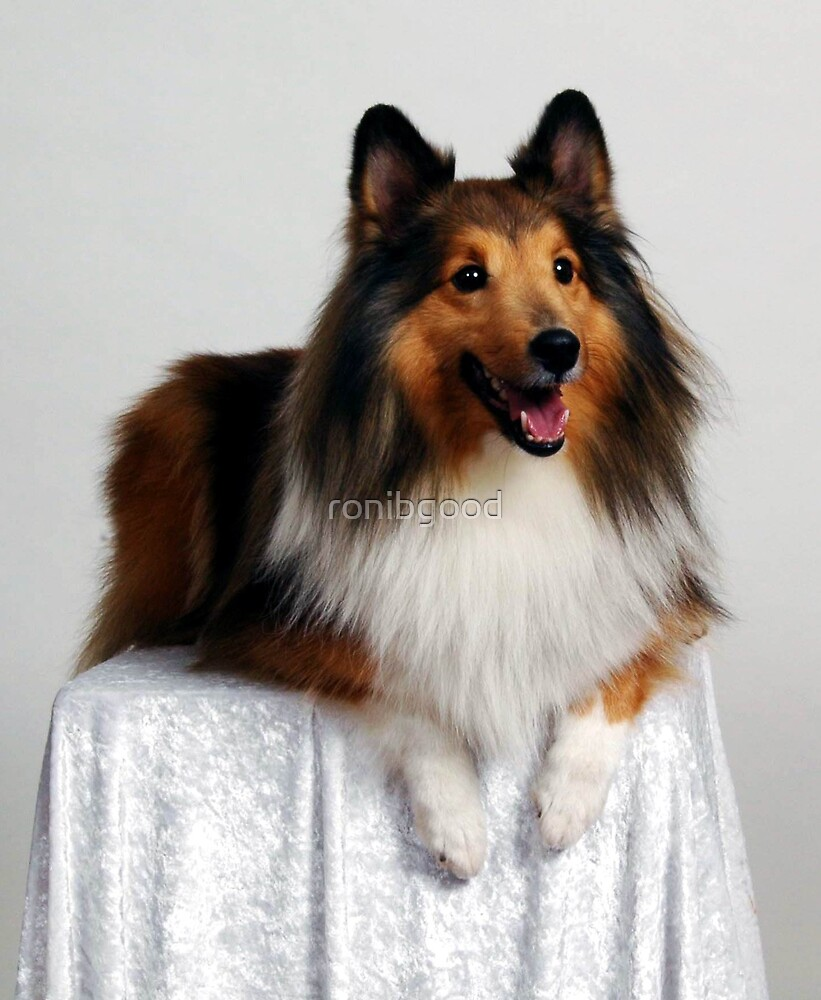 Lady Sheltie by ronibgood