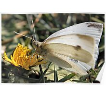 Butterfly Macro Poster