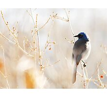 Scrub Jay in Weeds Photographic Print