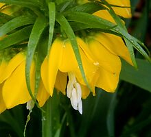 Yellow Crown Imperial   ^ by ctheworld