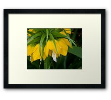 Yellow Crown Imperial   ^ Framed Print