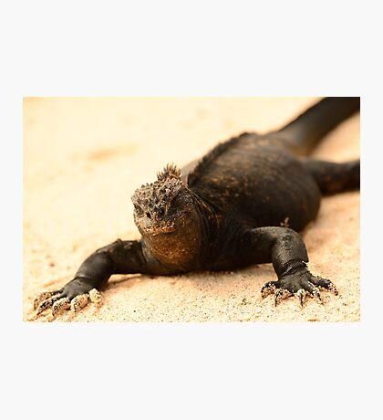 Black beach marine iguana Photographic Print