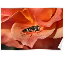 Hover Fly Macro Poster