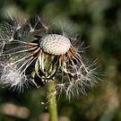Dandelion Macro by BluAlien