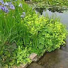 By The Water's Edge - Hyde Hall Lily Pond by BlueMoonRose
