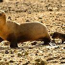 Sea Lion & Pup by Derek McMorrine