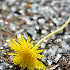 A Dandelion Among Glass by pange