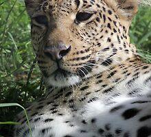 Leopard  by jansphotos