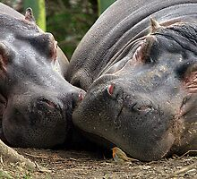 Two Hippos and a Brave Robin by Richard Scott