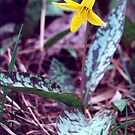 Trout Lilly by AuntieJ