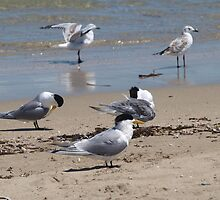 Terns on the Beach by kalaryder