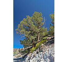 Bristle Cone Pine Photographic Print