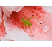 Grasshopper on Pink Flower 2 Photographic Print