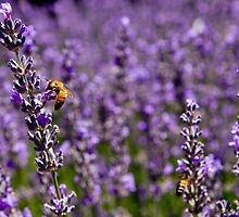 Bee on Lavender by jlprods