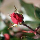 Christmas Rosebud  by WalnutHill