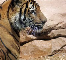 Standing Tiger by jansphotos