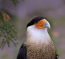 Crested Caracara Portrait by Delores Knowles