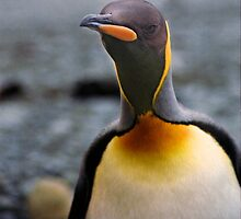 King Penguin Up Close & Personal by Carole-Anne