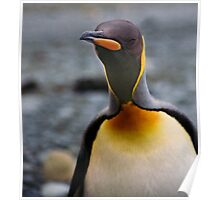 King Penguin Up Close & Personal Poster