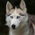 Siberian Husky by orchidcat